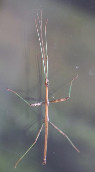 walking stick - Diapheromera femorata - male