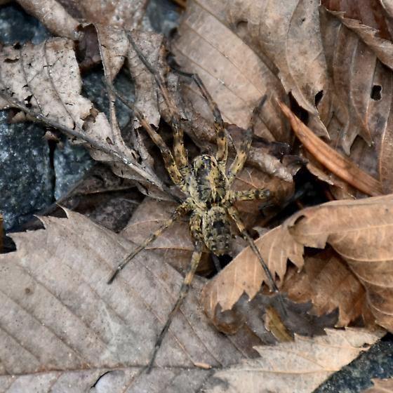 Spider - Tigrosa