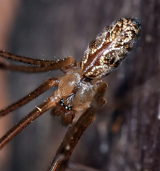 Cellar Spider - Holocnemus pluchei - male
