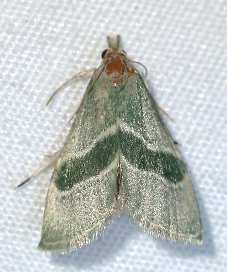 Moth - Anemosella viridalis