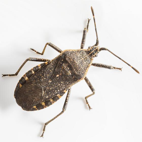 Assassin Bug - Anasa tristis