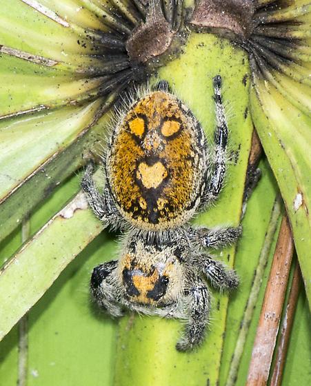 Spider ID Request - Phidippus regius