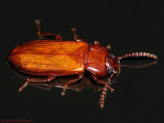 Flat Reddish Beetle - Adelina