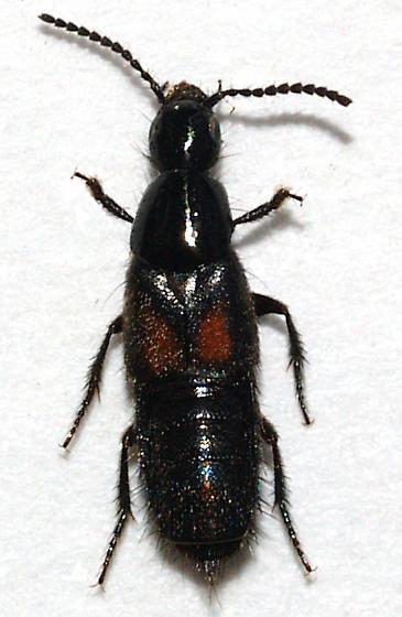 Staphylinidae - Philonthus cruentatus
