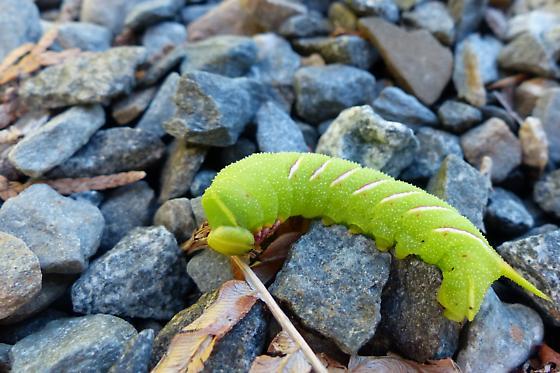 Sphinx moth caterpillar sp. - Sphinx gordius
