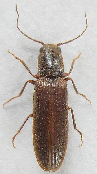 Athous Click Beetle? - Athous rufiventris