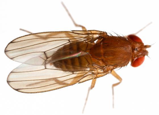 Drosophila immigrans? - Drosophila immigrans - female