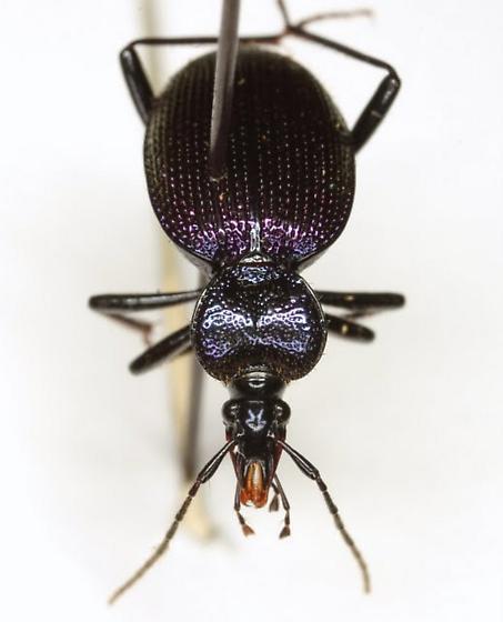 Scaphinotus cavicollis (LeConte) - Scaphinotus cavicollis