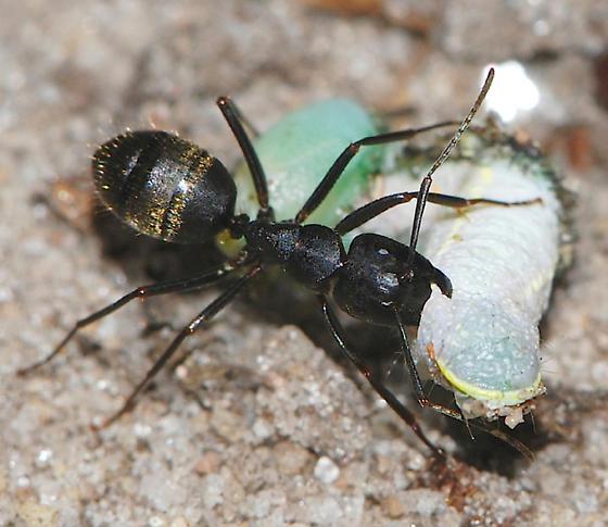Black Carpenter Ant (