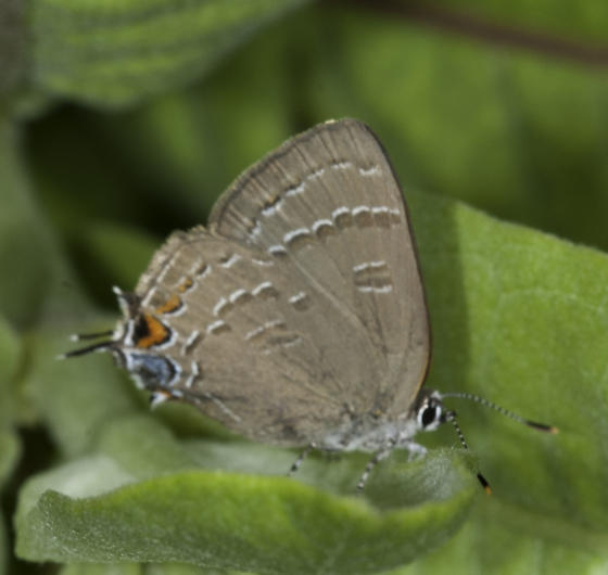 and this should be calanus? - Satyrium calanus