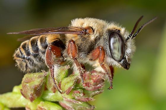Red-legged Megachile Bee - Megachile - male