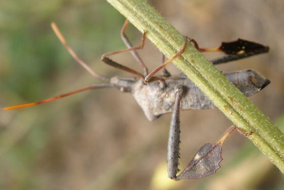 bug - Leptoglossus phyllopus