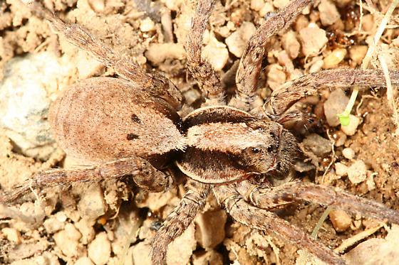 large Wolf Spider - Hogna frondicola - female