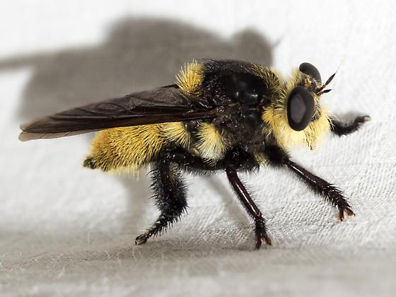Southern Bee Killer (Mallophora orcina)? - Mallophora fautrix