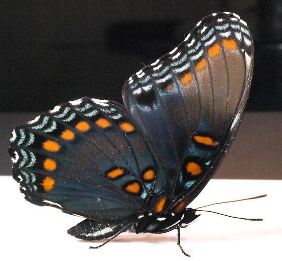 Butterflies  - Limenitis arthemis