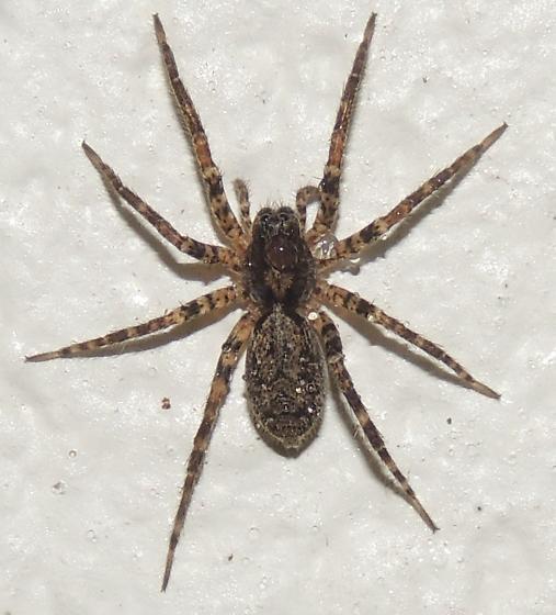 Spider sp? - Gladicosa pulchra