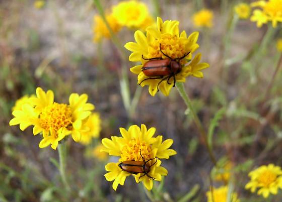 Carrizo Plains beetles - Nemognatha scutellaris