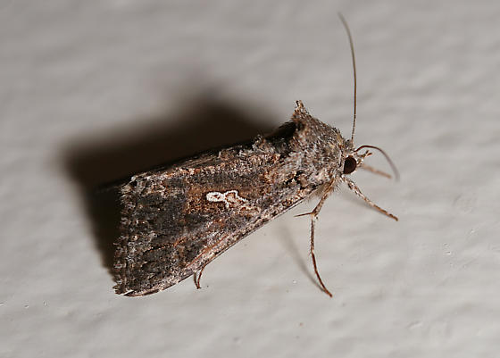 Noctuidae moth - Trichoplusia ni