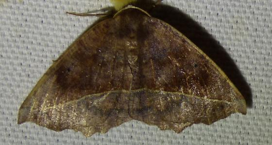 Eutrapela clemataria - Curve-toothed Geometer - Eutrapela clemataria