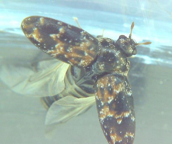 Orange dermestid larva grows up! - Trogoderma ornatum - female