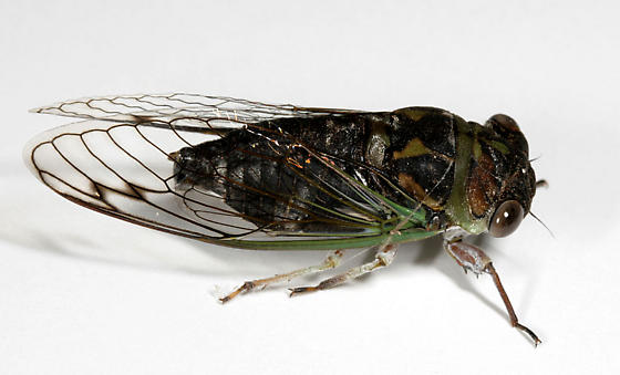 Southern Dog Day Cicada - Neotibicen davisi - male