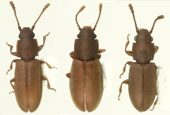 Ahasverus spp. - Ahasverus