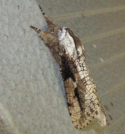 Cossid moth at TX mini-gathering - Psychonoctua masoni