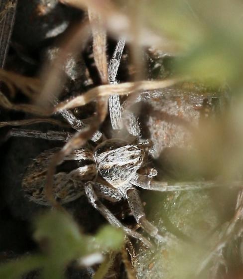 spider, light gray - Thanatus