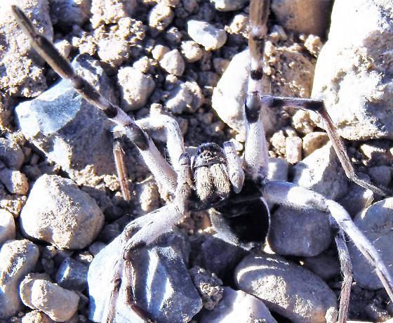 Carolina Wolf Spider - Hogna carolinensis - male