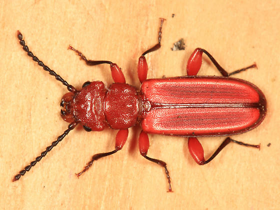 Red Flat Bark Beetle - Cucujus clavipes