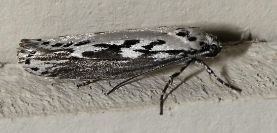 There were also several moths still hanging around - Ethmia semitenebrella