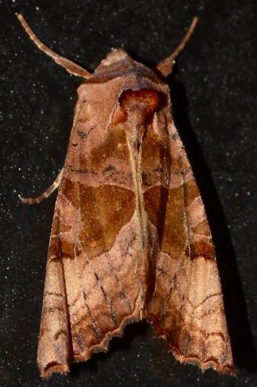 Brown Angle Shades #1 - Phlogophora periculosa