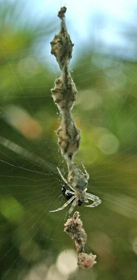 Unknown spider - Allocyclosa bifurca