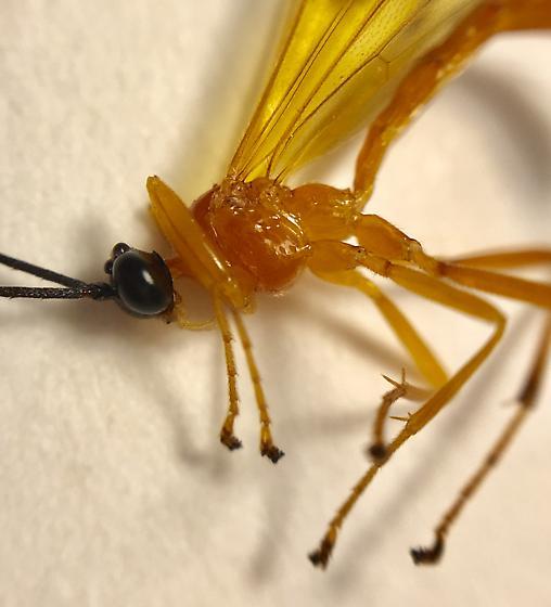 Hymenoptera - Acrotaphus wiltii