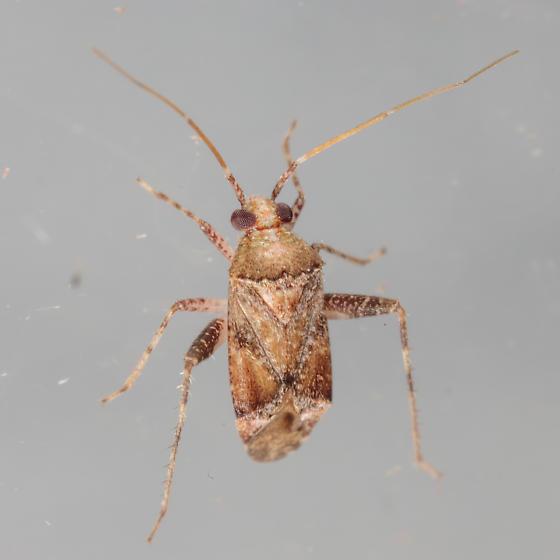 Phytocoris breviusculus? - Phytocoris
