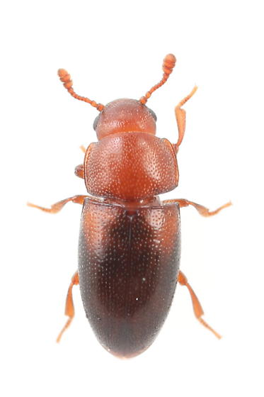 Beetle - Dacne californica