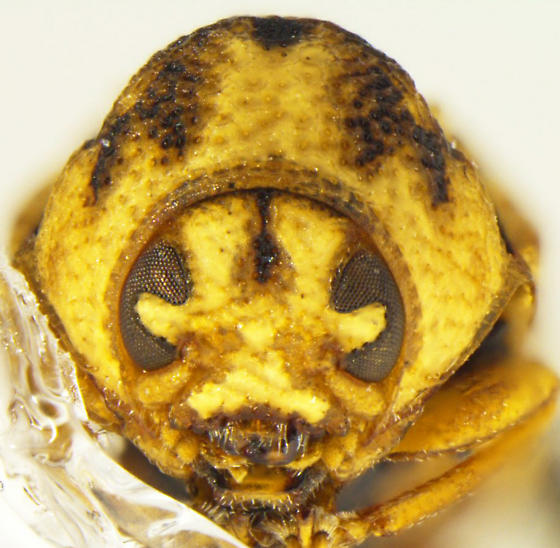 Chlamisus arizonensis