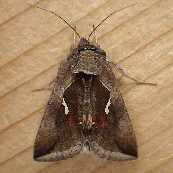 Noctuidae: Anagrapha falcifera - Anagrapha falcifera