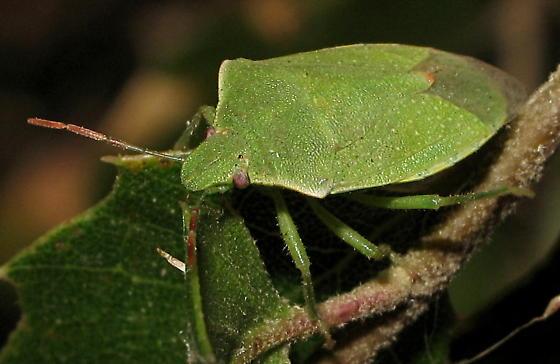 Pentatomidae? - Thyanta pallidovirens