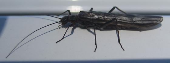first stonefly of spring - Taeniopteryx