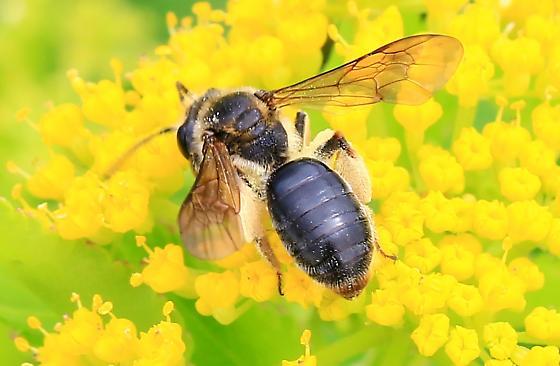 brown bee - Andrena crataegi