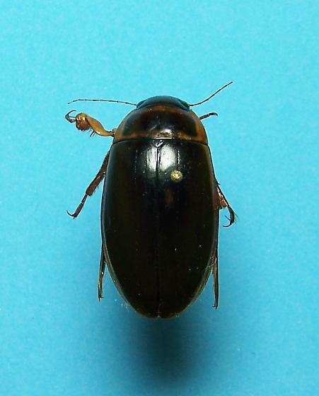 Predacious Diving Beetle - Dytiscus cordieri - male