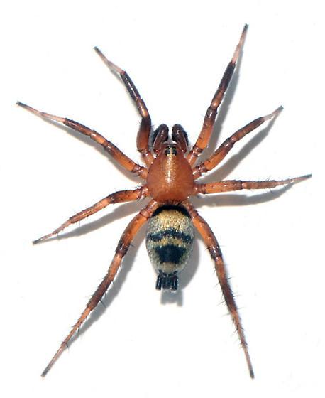 C. imbecilla - dorsal - Callilepis imbecilla - male