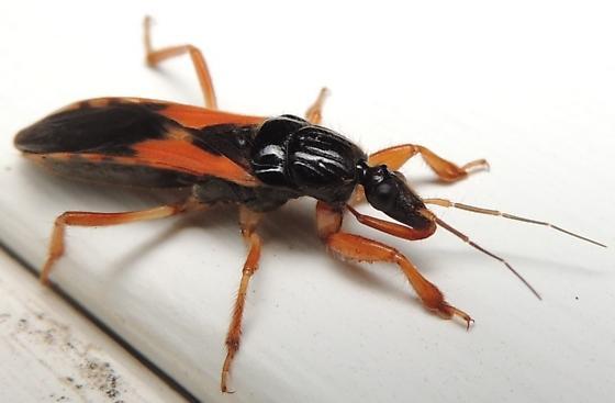 interesting black and orange bug - Sirthenea carinata