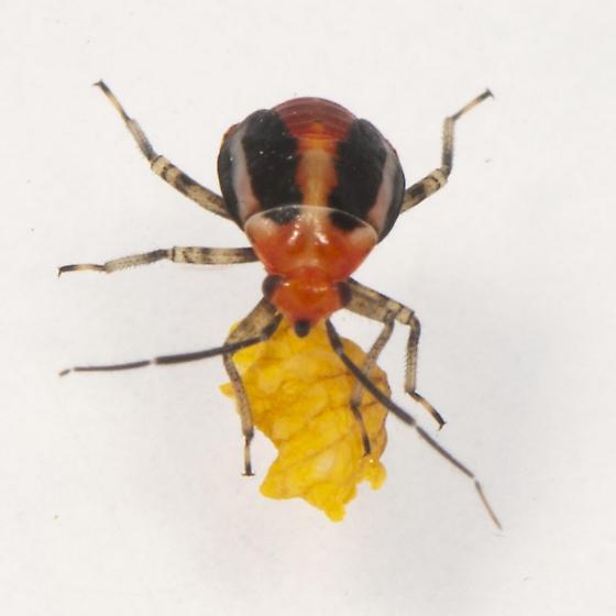 Poecilocapsus lineatus nymph? - Poecilocapsus lineatus