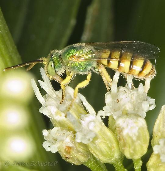 Male Agapostemon from AZ Gathering - Agapostemon melliventris - male