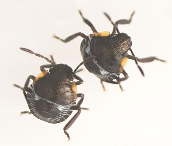 Green Stink Bug nymphs - Chinavia hilaris
