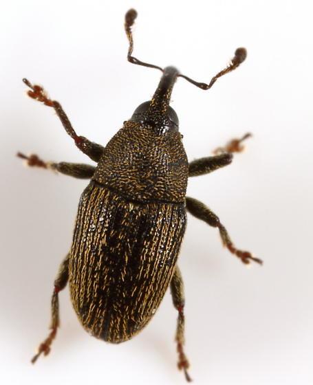 Weevil - Odontocorynus falsus - male