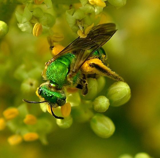 Cuckoo Wasp ? - Agapostemon sericeus - female