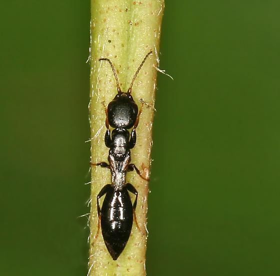 little black wingless wasp - Bethylus decipiens